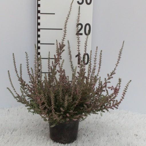 Calluna vulgaris 'Red Pimpernel' (Experts in Green)