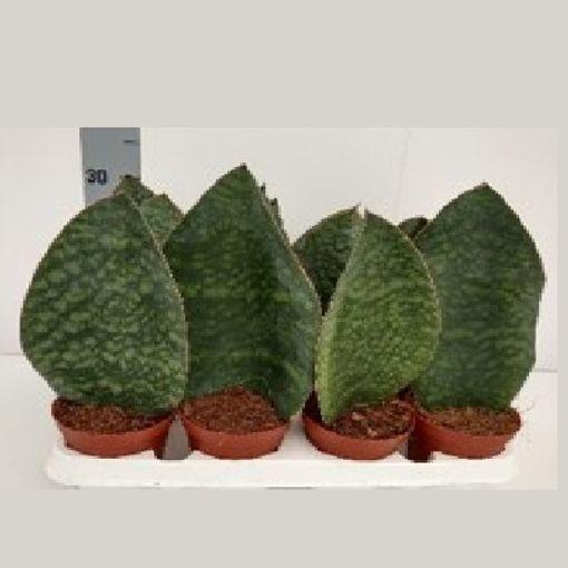 Sansevieria masoniana 'Congo' (Gasa DK)