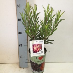 Leucadendron 'Safari Night'