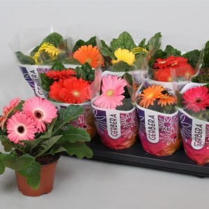 Gerbera COLOURGAME MIX