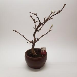 Wisteria floribunda (M&M Garden)