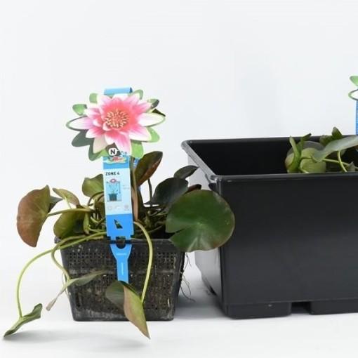 Nymphaea 'Attraction' (Moerings Waterplanten)