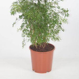 Polyscias fruticosa (Ammerlaan, The Green Innovater)