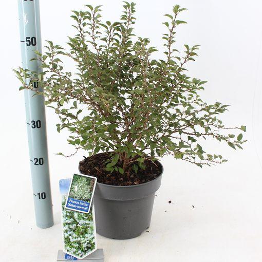 Prunus incisa 'Kojou-no-mai' (About Plants Zundert BV)