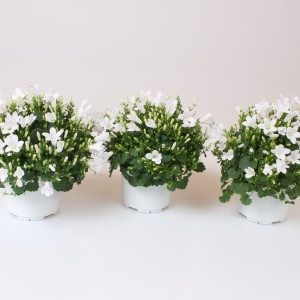 Campanula portenschlagiana WHITEONE