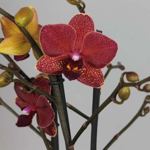 Phalaenopsis FLORICLONE BLAKE (Leerdam Orchideeën)