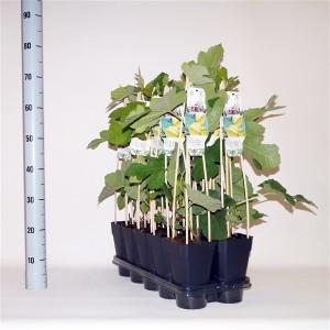 Ficus carica 'Panachée' (BOGREEN Outdoor Plants)