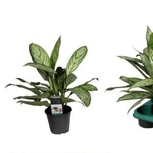Aglaonema commutatum 'Silver Queen'