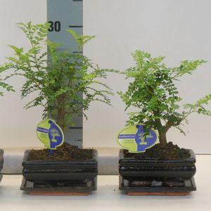 Zanthoxylum piperitum (Lodder Bonsai BV)