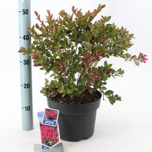Lagerstroemia indica WITH LOVE KISS (About Plants Zundert BV)