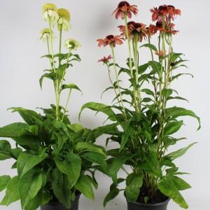 Echinacea SUNACEA MIX (B.D. Rijnbeek Boomkwekerijen B.V.)
