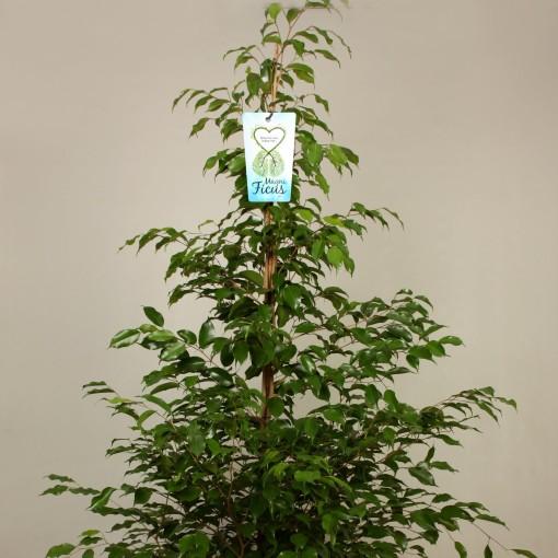 Ficus benjamina 'Exotica' (Kwekerij de Schenkel)