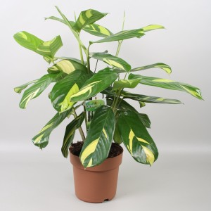 Ctenanthe lubbersiana (Vireõ Plant Sales)