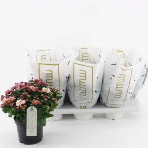Chrysanthemum AMARENA PINK