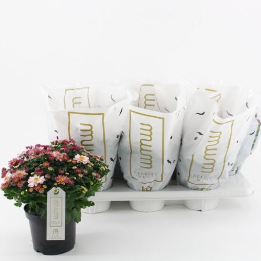 Chrysanthemum AMARENA PINK (Kwekerij Baas)
