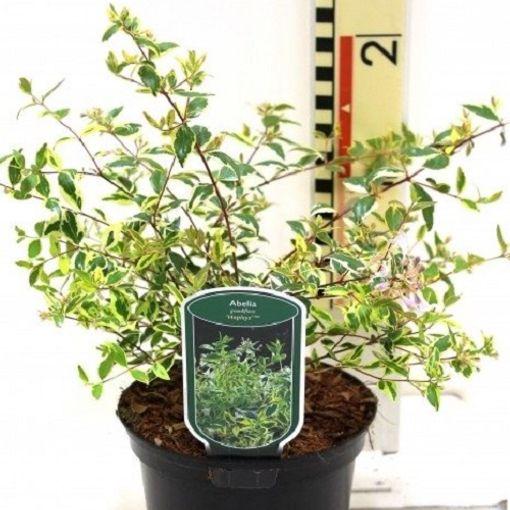 Abelia x grandiflora 'Hopleys' (CPB Sales)