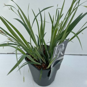 Carex laxiculmis 'Bunny Blue'