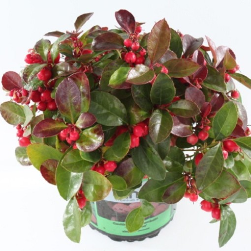 Gaultheria procumbens 'Kings' (Experts in Green)