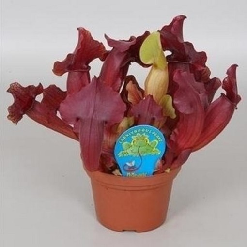 Sarracenia 'Maroon' (Stricker Plants)