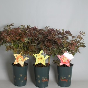 Paeonia MIX (De Jong Plant BV)
