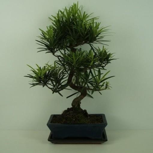 Podocarpus macrophyllus (Trendy Bonsai BV)