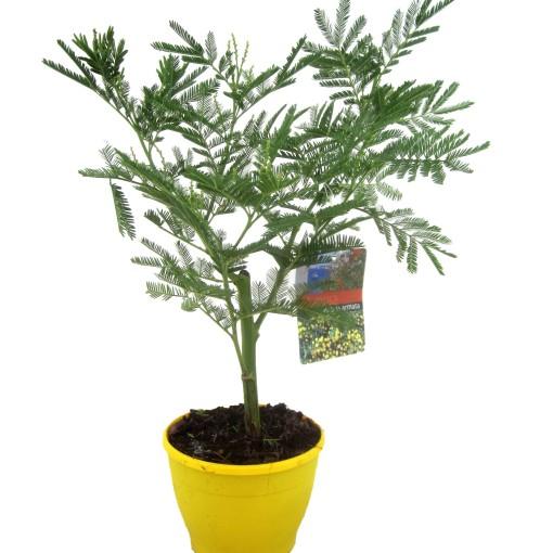 Acacia dealbata (Luiten kwekerij)