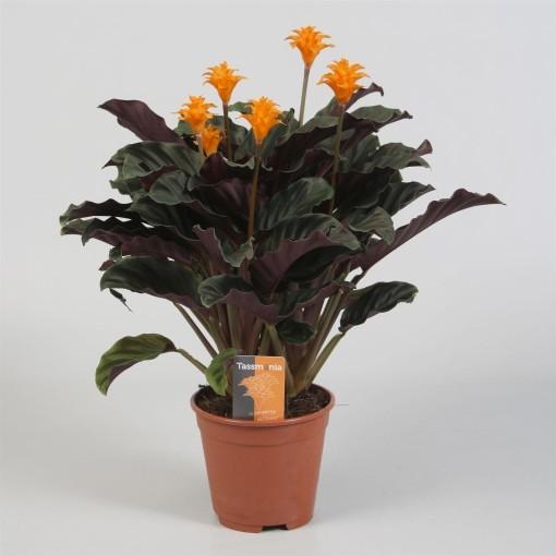 Calathea crocata TASSMINIA (Kwekerij Tass)