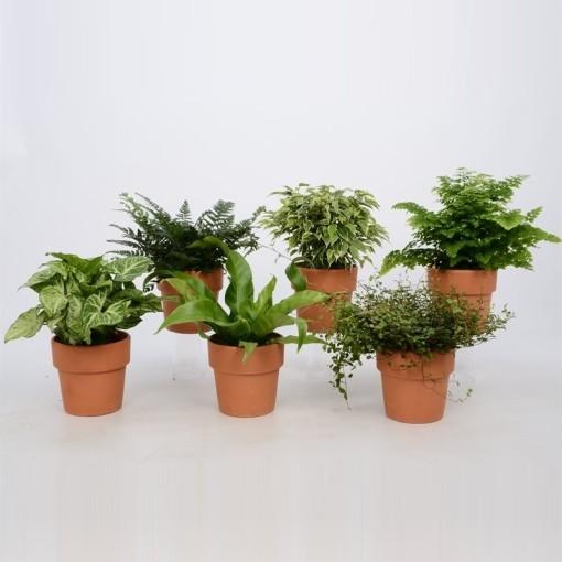 Houseplants MIX (Bunnik Plants)