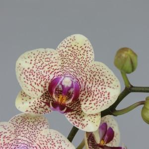 Phalaenopsis FLORICLONE MONROE (Leerdam Orchideeën)