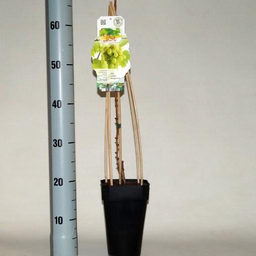 Vitis 'Jubilei Novgoroda' (BOGREEN Outdoor Plants)