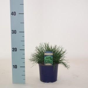 Pinus mugo mughus (Kwekerij Vredebest)