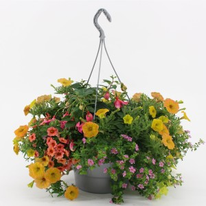 Bedding plants MIX IN POT