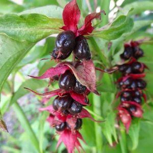 Leycesteria formosa (About Plants Zundert BV)