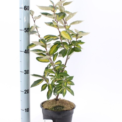 Elaeagnus x ebbingei 'Limelight' (About Plants Zundert BV)