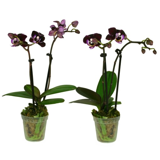 Phalaenopsis MIX (Ammerlaan, The Green Innovater)