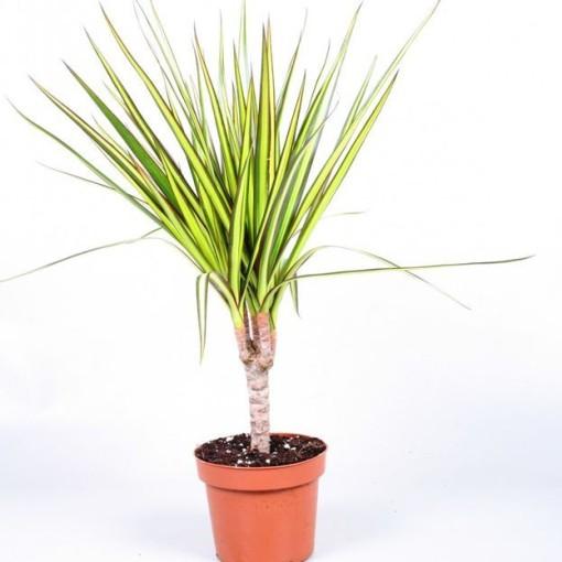 Dracaena marginata 'Sunray' (Vireõ Plant Sales)