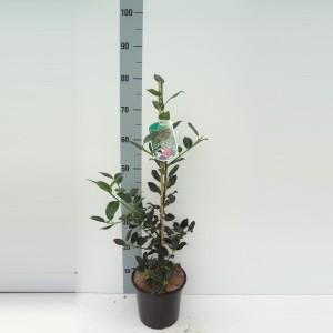 Ilex aquifolium 'J.C.  van Tol' (About Plants Zundert BV)