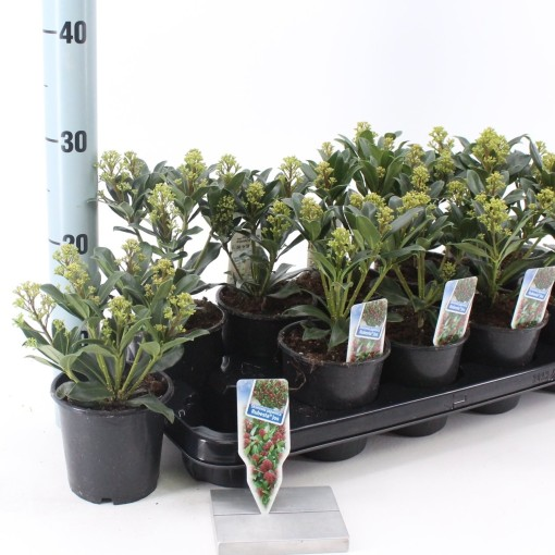 Skimmia japonica RUBESTA JOS (About Plants Zundert BV)