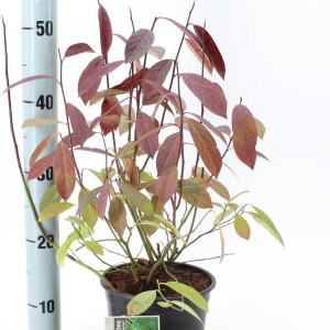 Itea virginica 'Henry's Garnet' (About Plants Zundert BV)