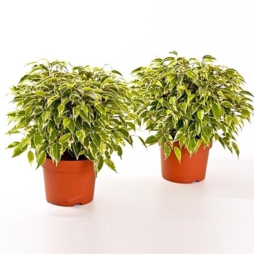 Ficus benjamina KINKY (Bunnik Plants)