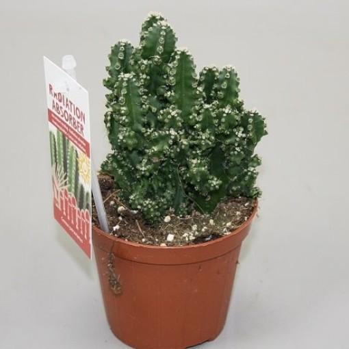 Cereus repandus 'Florida' (Ubink)