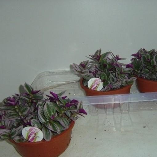 Tradescantia albiflora 'Nanouk' (Hendriks CV, GJ )