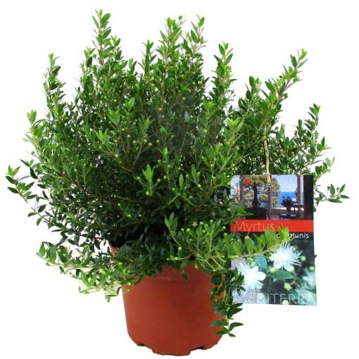 Myrtus communis (Luiten kwekerij)