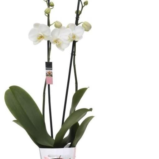 Phalaenopsis ANTHURA CAMBRIDGE (Ter Laak Orchids Midiflora)