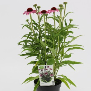 Echinacea MOOODZ IN LOVE (Kwekerij Baas)