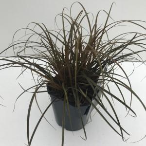 Uncinia rubra (Cammeraat Potcultuur)