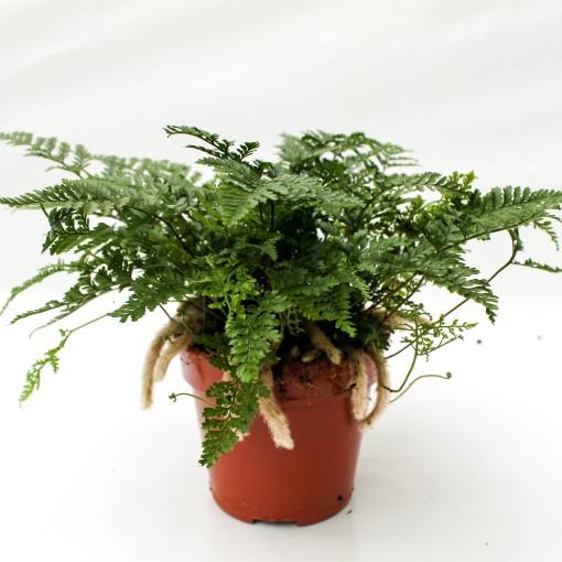Davallia fejeensis (Ruhé Varens B.V.)
