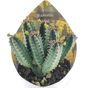 Euphorbia tubiglans