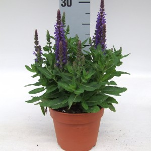 Salvia nemorosa SENSATION DEEP BLUE