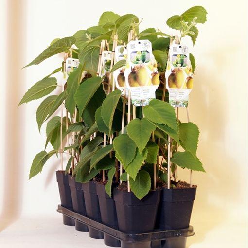 Actinidia deliciosa 'Jenny' (BOGREEN Outdoor Plants)
